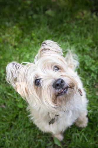 marlon cairn terrier rescue colonel potter cairn rescue network kansas city pet sitting dog walking
