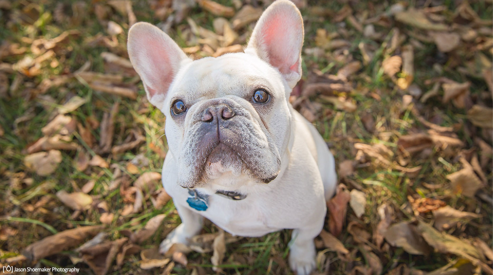 eddie french bulldog kansas city dog walking dog sitting pet sitting