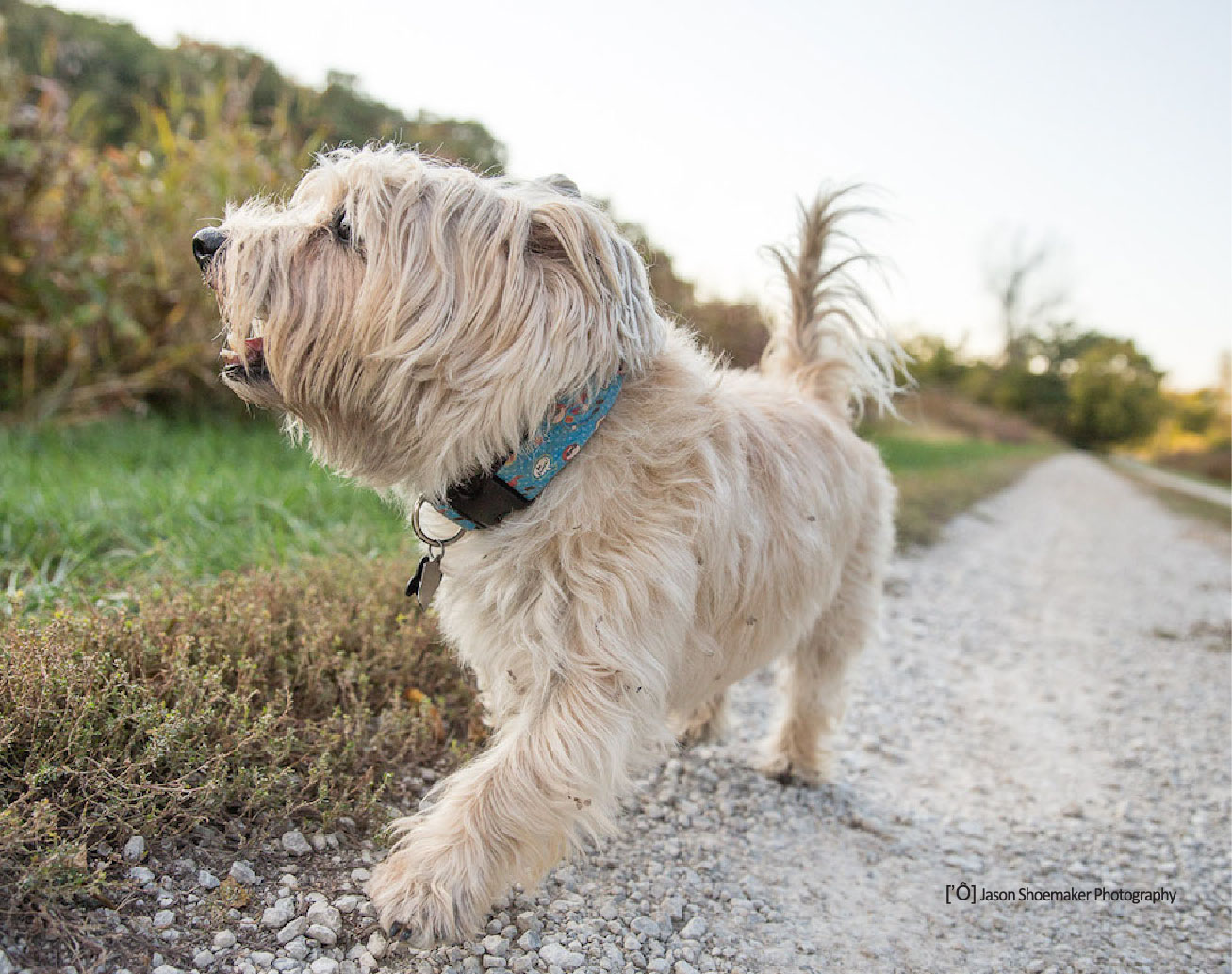 marlon dog walking kansas city dog sitting cairn terrier