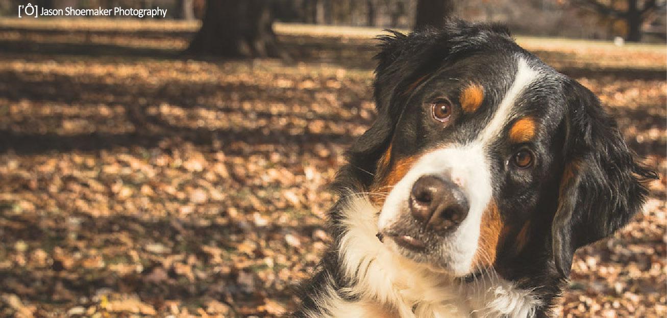 ollie bernese mountain dog dog walking kansas city