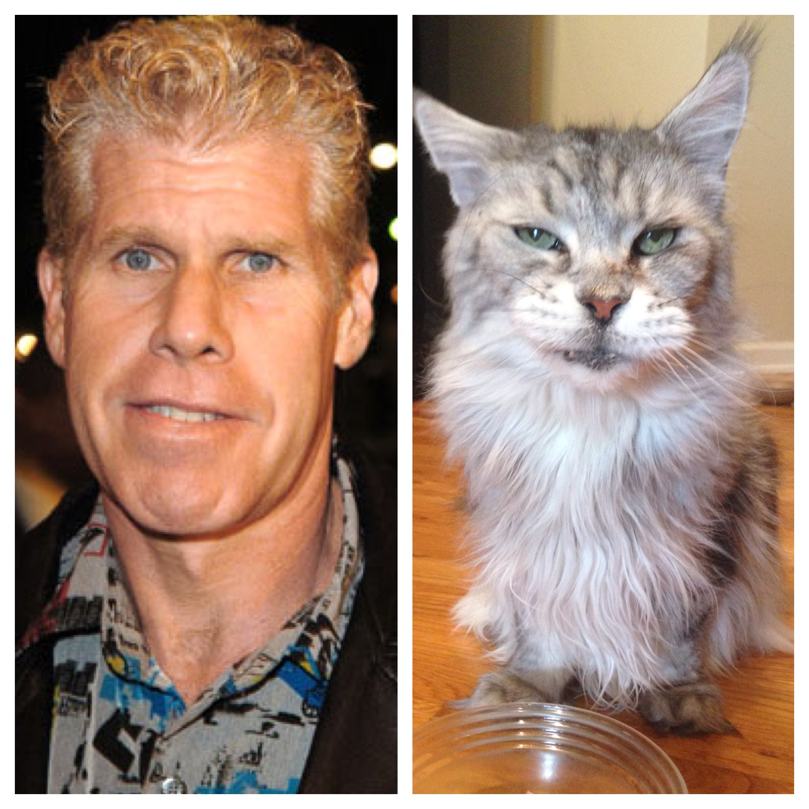 Ron Perlman in The Role of A Lifetime: A Pampered Female Maine Coon Kitty  Cat • Busy Paws LLC