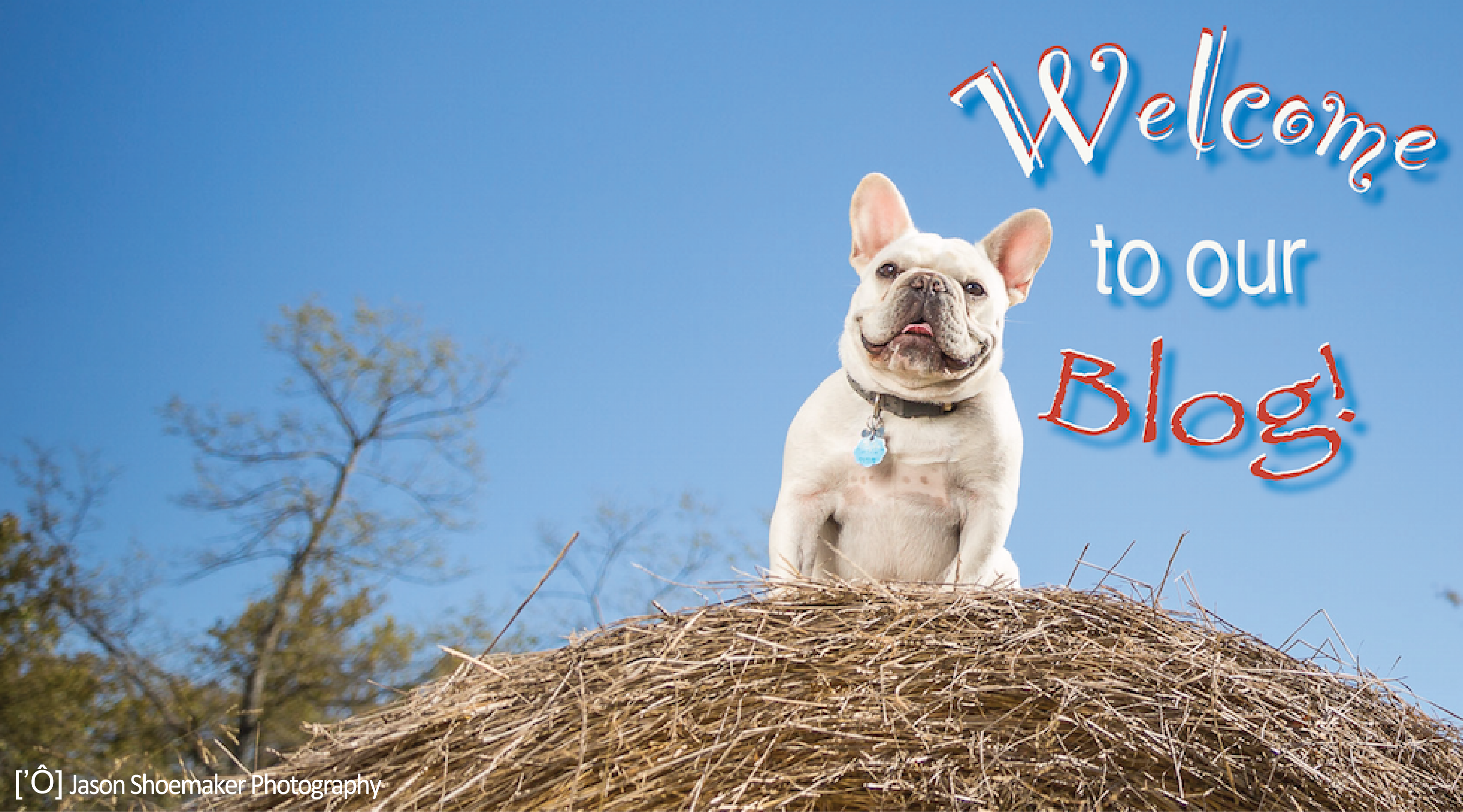 blog kansas city pet sitting eddie french bulldog hay bale
