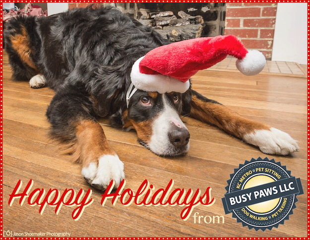 happy holidays merry christmas ollie bernese mountain dog kansas city dog sitting dog walking