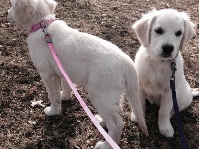 english cream golden retrievers francis and ellie dog busy paws llc pet sitting dog sitting dog walking kansas city kcmo