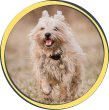 marlon cairn terrier dog kansas city dog walking