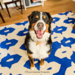 ollie bernese mountain dog dog walking dog sitting kansas city
